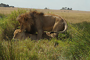 Africa, Tanzania, Ngorongoro Ngorongoro Conservation Area (NCA) Lion (Panthera leo) and lioness mating