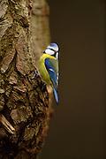 The blue tit (Parus caeruleus) on oak. National Park Saxon Switzerland (Saechsische Schweiz), Germany. | Die Blaumeise (Parus caeruleus) sitzt auf der Eichenrinde. Niedersächsische Elbtalaue, Deutschland