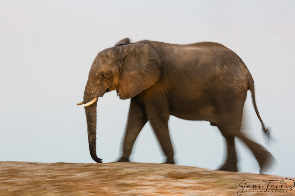 A motion-blur of an African elephant (Loxodonta africana)  quickly walking around a water hole at sunset, Hwange National Park, Zimbabwe,Africa