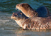Alaska. Northern River Otters (Lontra canadensis) watchful while fishing, Seward.