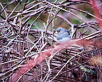 Dark-eyed Junco. Image taken with a Nikon D300 camera and 80-400 mm VR lens (ISO 900, 400 mm, f/5.6, 1/250 sec).