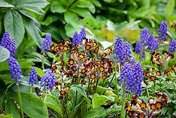 Primula 'Gold Lace Group' with Muscari armeniacum