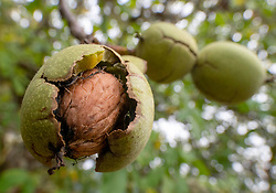 October 7, 2018 - Roseburg, OREGON, U.S - English walnuts ripen and are nearly ready to fall free of their outer husks in an orchard on a farm near Elkton in rural western Oregon. (Credit Image: © Robin Loznak/ZUMA Wire)
