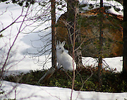 The Mountain Hare (Lepus timidus) is a hare, which is largely adapted to polar and mountainous habitats. It is distributed from Fennoscandia to eastern Siberia; in addition there are isolated populations in the Alps, Ireland, Poland, the United Kingdom and Hokkaido. It has also been introduced to Shetland and the Faroe Islands.....While the fur is brown in summer, in preparation for winter this species moults into a white (or largely white) pelage. The Irish race (Lepus timidus hibernicus) stays brown all year and only rarely do individuals develop a white coat. The Irish race may also have a dark/grey upper surface to the tail. This combined with the various shades of brown that the Irish hare may display could lead to observers confusing a sighting with a brown hare. In Scandinavia, the hare turns completely white...