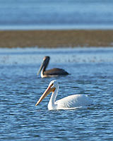 American White Pelican (Pelecanus erythrorhynchos), Brown Pelican (Pelecanus occidentalis). Fort De Soto County Park. St. Petersburg, Florida. Image taken with a Nikon D3x camera and 500 mm f/4 VR lens.