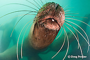 Steller's sea lions, or Steller sea lion, or northern sea lion, Eumetopias jubatus (an Endangered Species in the western part of its range, and Threatened in the eastern portion), showing sensory whiskers or vibrissae, Glacier Island, Columbia Bay, Alaska, United States of America, ( Prince William Sound )