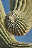 Saguaro Cactus (Carnegiea gigantea) arms, Organ Pipe Cactus National Monument Arizona