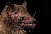 Common Long-tongued Bat (Glossophaga soricina)  CAPTIVE<br /> Karanambu Lodge<br /> Rupununi<br /> GUYANA<br /> South America