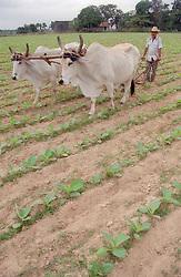 Farmer ploughing field with oxen near Pinar del Rio; Cuba,