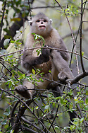 Black-and-white snub-nosed monkey, Rhinopithecus bieti, also known as the Yunnan snub-nosed monkey, Ta Cheng Nature Reserve, Yunnan, China