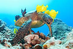 green sea turtle, Chelonia mydas, being cleaned by yellow tang, Zebrasoma flavescens and gold-ring surgeonfish, Ctenochaetus strigosus, (endemic to Hawaii), Kona, Big Island, Hawaii, Pacific Ocean