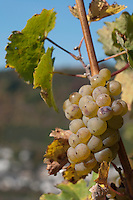 Fast erntereif. Weintrauben am Rebstock an der Mosel. | Ready to be harvested. Grapes of wine on a vineyard in the mosel valley.