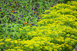 Euphorbia oblongata - Balkan spurge