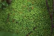 "Leucobryum moss or pin cushion moss (Leucobryum glaucum) in forest undergrowth, ""Nature reserve"" Vidusburtnieks, Latvia Ⓒ Davis Ulands | davisulands.com"