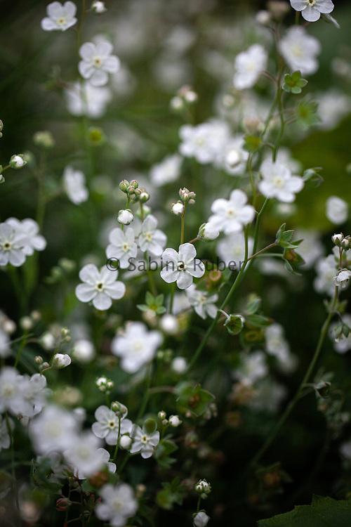 Omphalodes linifolia alba - Venus's navelwort