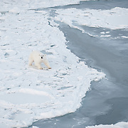 Polar bear with radio collar hunting an open lead, waiting for seals. Beaufort Sea.