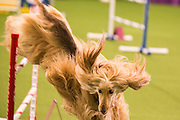 New York, NY - 8 February 2014. Afghan hound Reine clearing a jump, and making a quick turn for the next obstacle. The dogs are directed through the agility course by their handlers.