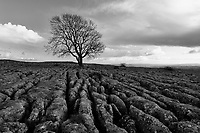 A lonely tree stands amongst the famous 'limestone pavement' of the Yorkshire Dales in Northern England.