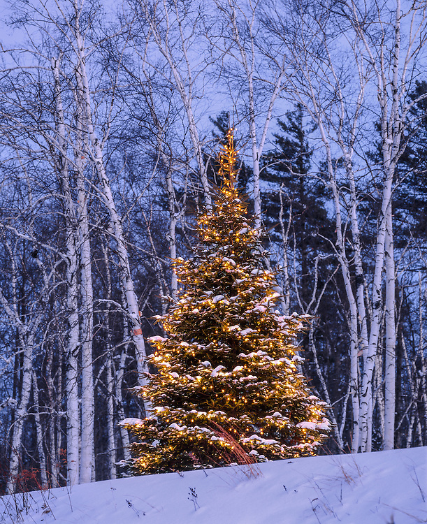 Christmas tree with lights & fresh snow, on hillside with birch trees at dusk, Newbury, NH