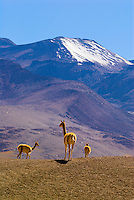 Vicunas, Atacama Desert near the El Tatio geothermic basin, Chile