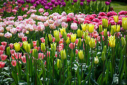 Tulipa 'First Proud' and 'Angelique' growing in the tulip trial bed at Parham House