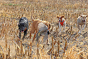 A Yellow Lab gets help from three other hunting dogs during a retrieve.