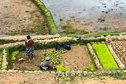 Local argiculture<br /> Eastern Madagascar<br /> MADAGASCAR