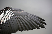 An Anhinga (Anhinga anhinga) dries its wing after a rain along the Anhinga Trail in Everglades National Park, Florida. The bird is also called a darter or snakebird.