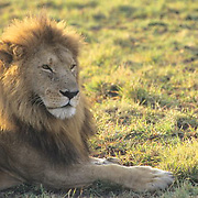 African Lion, (Panthera leo) Portrait of mature male. Masai Mara Game Reserve. Kenya. Africa.