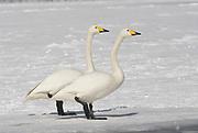 Whooper swan, Cygnus cygnus, pair together, lake Kussharo-ko, Hokkaido Island, Japan, japanese, Asian, wilderness, wild, untamed, ornithology, snow, graceful, majestic, aquatic.