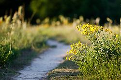Engelmann's daisies in alongside trail, Blackland Prairie remnant, White Rock Lake, Dallas,Texas, USA. (Tentative ID).