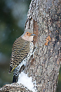 01193-01606 Northern Flicker (Colaptes auratus) male on dead tree in winter, Marion Co, IL