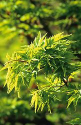Acer palmatum 'Ribesifolium' syn. Acer palmatum 'Shishigashira' in spring