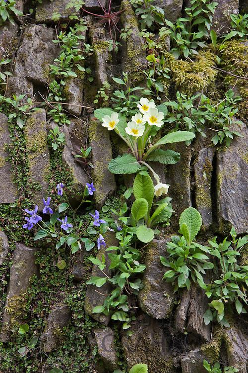 Primrose, Primula Vulgaris with Purple Violet viola wildflower  in traditional drystone wall in Cornwall, England, UK
