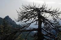 Greece, Pindos Mountains, Pindos NP, Valia Calda, old dry pine trees on top of the hill
