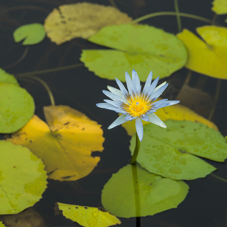 Licensing - Open Edition Prints<br /> Lily pads with a flower bloom