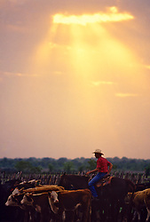 cowboy herding young cattle in the evening