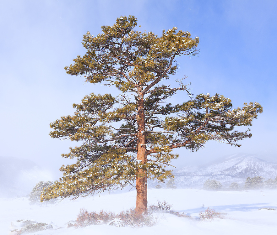 A Ponderosa Pine in a clearing snowstorm. Rocky Mountain National Park.