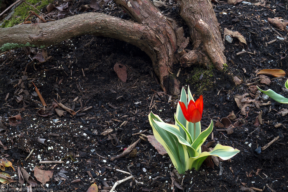 Variegated Tulip in the Quarry Gardens in Queen Elizabeth Park, Vancouver, British Columbia, Canada