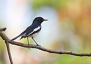 Oriental Magpie-Robin (Copsychus saularis) from Bandhavgarh National Park, India.