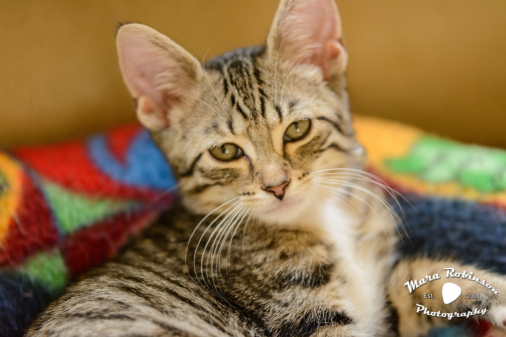 Lennox brown tabby tiger striped 11 week old kitten by Mara Robinson