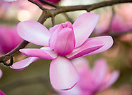 A close-up of Magnolia campbellii, Kew Gardens, London, UK
