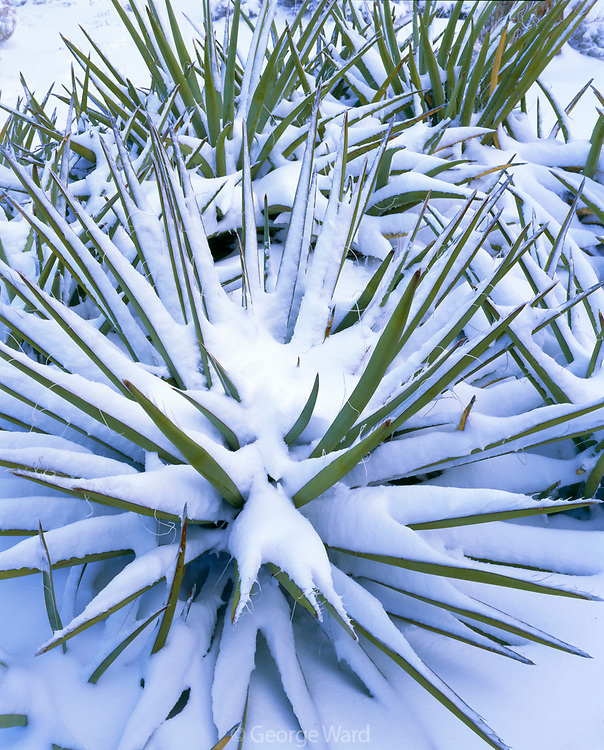 Snow-covered Agave along the South Rim, Grand Canyon National Park, Arizona