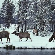 Elk, (Cervus elaphus) cows grazing along bank of river, foraging under snow for grass shoots. Gibbon Meadows .