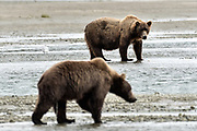 A large grizzly bear boar watches a younger boar as they hunt for chum salmon in the lower lagoon at the McNeil River State Game Sanctuary on the Kenai Peninsula, Alaska. The remote site is accessed only with a special permit and is the world's largest seasonal population of brown bears.