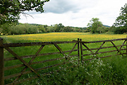 English landscape of agricultural fields covered in buttercups near Martley, England, United Kingdom.