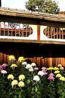 Chrysanthemums in Kyoto