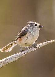 A tiny titmouse looking off from his perch in the tree