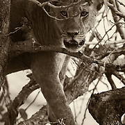 """""""Watchful Eyes""""                                  Zimbabwe<br /> """"Don't forget to look up, Yes, there are lions in the trees,"""" my friend said. They rest in the trees to escape the heat and find a hint of a breeze.  They also find relief from the Tsetse flies.  In the trees is exactly where we found this young male lion. He watched us as we packed up our gear. When he was satisfied we were leaving, he silently dropped from the tree and walked into the Bush."""