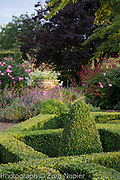 Buxus - box parterre, stone urn with Scaevola 'White Wonder' -Fairy Fanflower, Erysimum 'Bowles Mauve', Rosa 'Royal Jubilee' - Pink English Rose by David Austin and Persicaria affinis 'Superba' RHS AGM - September